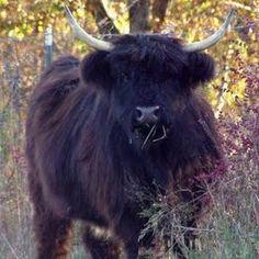 Black Scottish Highland Cattle