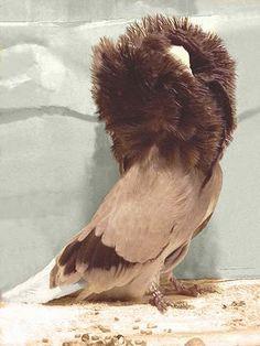 Jacobin Pigeon 6