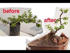 jade plant is very easy to make bonsai for beginners by few tips which I have show .wiring & prunning is key feature of bonsai .also rock stone is give aw. Buy Bonsai Tree, Bonsai Tree Care, Mini Bonsai, Indoor Bonsai, Bonsai Trees, Jade Bonsai, Succulent Bonsai, Planting Succulents, Bonsai Pruning