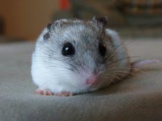 this is my hamster, Snowy. i LOVE making her things. soo cute!!