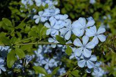 Flores de chumbo - bela-emília (Plumbago auriculata), planta sul-africana da família Plumbaginaceae que gosta de sol e tolera a falta de água. E é fácil de identificar: