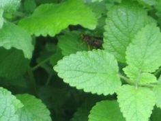 Lemon balm is nature's gift to humans. Although there are only a few studies made to clearly show its therapeutic effects, this herb has continually been used to treat medical disorders with its antiviral, calming and possibly neurological effects.