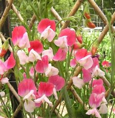 "Painted Lady Sweet Pea (Lathyrus odoratus). Dating back to 1737, the very 1st named sweet pea cultivar, the result of a natural color mutation from the original purple Italian species to a beautiful rose, pastel pink and cream bicolor. Heat-tolerant & deliciously scented, it begins flowering early on vigorous vines that stretch & grow as the season continues. Soil Temp: above 50°F. Full to Partial Sun. Plant seeds 1"" deep & 2-3"" apart. Germinates in 12-28 Days. Ht: 6-8 ft. When 2"" tall, thin…"