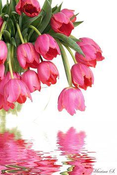 Tulip Reflection~                                                                                                                                                                                 Mais
