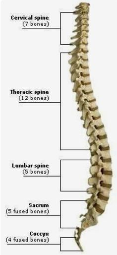 the human spinal column is made up of 33 bones - 7 vertebrae in the cervical region, 12 in the thoracic region, 5 in the lumbar region, 5 in the sacral region and 4 in the coccygeal region-lc Human Body Anatomy, Yoga Anatomy, Human Anatomy And Physiology, Muscle Anatomy, Anatomy Study, Human Skeleton Anatomy, Anatomy Bones, Musculoskeletal System, Medical Anatomy
