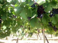 'Kotsifali' grapes at Minos Wines Estate in Peza, Crete