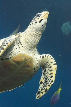 ウミガメ、(umigame - sea turtle)