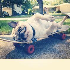 Skater pug #pug  #puglife #pugfanatic