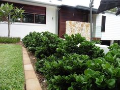 small, compact shrub with rounded glossy green leaves. it has an attractive white, sweetly scented, star-shaped flower. Florida Landscaping, Front Yard Landscaping, Landscape Design, Garden Design, Buy Plants Online, Coastal Gardens, Front Entrances, Drought Tolerant, Outdoor Gardens