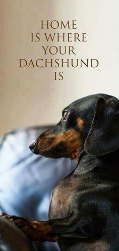 home is where your dachshund is dachshund costumes, dog funny, memes funny dogs Dachshund Funny, Dachshund Quotes, Dachshund Art, Dachshund Puppies, Funny Dogs, Cute Puppies, Cute Dogs, Dogs And Puppies, Daschund