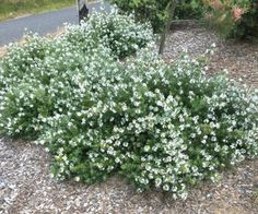 Low Horizon™ Westringia fruticosa 'WES06' PBR (4 per square metre.) More compact than even Mundi Westringia, with a tighter denser habit. Low growing as well. Has masses of white flowers in spring, and can be left in natural state, or pruned regularly for a more manicured look.
