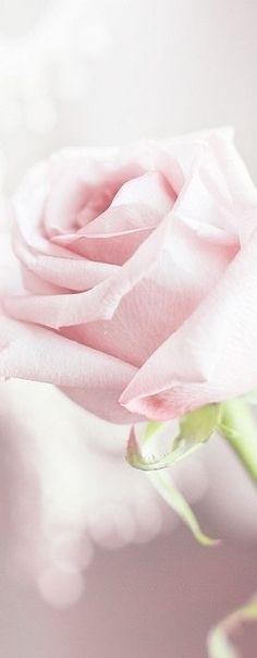 Pastel Rose bokeh ✿⊱╮