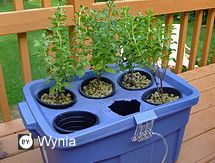 HYDROPONIC VEGETABLE GARDENING is a great option if you don't have room for a vegetable garden, you are fighting with deer and other critters and/or you dislike weeds.  Sonoma County Master Gardener Pat Rhoades found another benefit: no bending or kneeling!