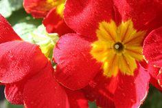 Cómo usar las Prímulas para decorar un espacio - http://www.jardineriaon.com/como-usar-las-primulas-para-decorar-un-espacio.html