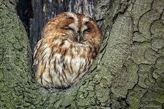 Tawny Owl - Strix aluco - puszczyk