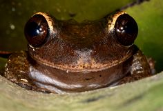 The Jamaican Laughing Frog (Osteopilus brunneus) is a species of frog in the Hylidae family. It is endemic to Jamaica. Its natural habitats are subtropical or tropical moist lowland forests, subtropical or tropical moist montanes, rural gardens, and heavily degraded former forest. More    Tadpoles of Jamaican laughing frog, Osteopilus brunneus, develop in a bromeliad's water deposit.