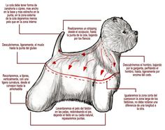 Arreglo comercial de west highland terrier. Dibujo de Miguel Lluch. West Highland Terrier, West Terrier, Dog Grooming Styles, Pet Grooming, Dyi Dog Treats, Poodle, Dog Anatomy, Dog Spa, Dog Haircuts