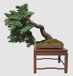 13 Types of Bonsai Trees (by Style and Shape Plus Pictures) Semi-Cascading Bonsai Bonsai Tree Types, Indoor Bonsai Tree, Indoor Trees, Bonsai Art, Bonsai Garden, Indoor Plants, Bonsai Trees, Asian Garden, Miniature Trees