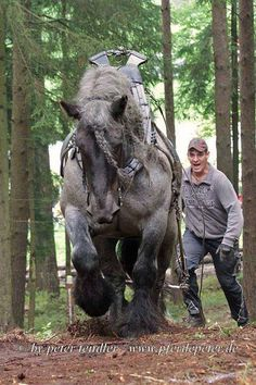 "Julie Elliott-Eickenroth His name is Wotan, a blue roan Brabant. (Sorry if that info has already been posted, I tried to read all the comments but there were so many ...) You can find this family's Facebook page at ""Die Blauen Belgier"" (The Blue Belgian). There are some amazing videos of Wotan and his owner and others working and competing together. He also does dressage! What a wonderful animal.   Horse Trader Online"