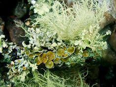 """frolicingintheforest: """"This little piece of wood had an awesome variety of lichen! Mushroom Art, Mushroom Fungi, Natural Forms, Natural Texture, Moss Garden, Botany, Mother Nature, Landscape Design, Peonies"""