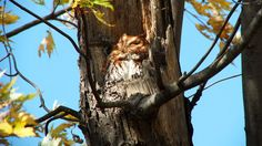 It has taken us two years to finally see the Red Morph Eastern Screech owl at Woodland Cemetery, in Burlington, Ontario.