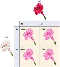 Image result for allele example