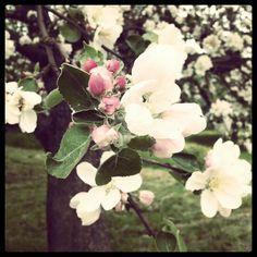 Kirschblüte Rose, Nature, Flowers, Plants, Cherries, Pink, Naturaleza, Plant, Roses