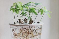 growing oaks odla ek hejregina