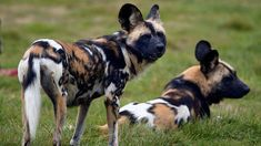 Rare painted dogs arrive at Whipsnade African Hunting Dog, African Wild Dog, Hunting Dogs, Brown Hyena, Striped Hyena, Maned Wolf, Companion Dog, Wild Dogs, African Animals
