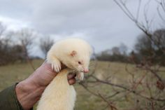 While slinky, cuddly ferrets often show up in shades of brown, gray, or black, albinos are also popular pets.