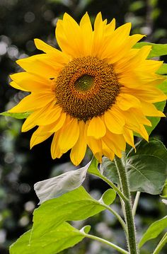 Sunflower   Axel Naud