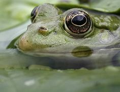 Frog in lily pond