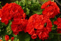 Have you bought your geraniums yet? May is the month when most geraniums are bought and sold as we fill our pots, planters and containers. Geranium Care, Geranium Plant, Geraniums Garden, Red Geraniums, Cool Plants, Live Plants, Hidden Garden, Geranium Essential Oil, Garden Nursery