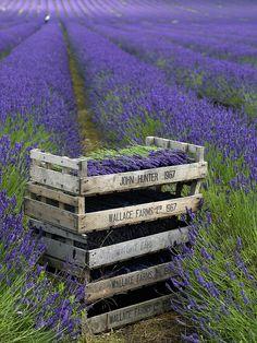 Hitchin Lavender, Cadwell Farm, Britain.