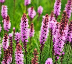 Plant Blazing Star (Liatris spicata) near early-summer bloomers as a way to disguise the latter's fading spent foliage. This North American native produces densely packed, 18- to 28-inch-tall spikes of pinkish-purple or white flowers over grassy foliage. Compact 'Kobold' (shown) doesn't need staking and has deep-purple flowers from July to August. It grows up to 30 inches tall and 1 foot wide, naturalizing in Zones 3–8.
