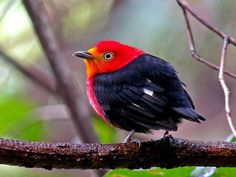 image source The crimson-hooded manakin (Pipra aureola) is a species of bird in the Pipridae family. It is found in Brazil, French Guiana, Guyana, Suriname, and Venezuela. Its natural habitats are subtropical or tropical...