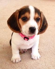 My Lucy (pocket beagle)