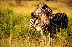 DayTreasure: Royal Madikwe - Madikwe Game Reserve Game Reserve South Africa, Safari, Wildlife, Adventure, Games, Travel, Animals, Viajes, Animales