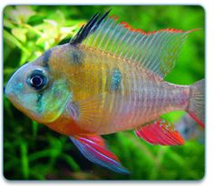 1000 images about cold water fish tanks on pinterest for Cold freshwater fish
