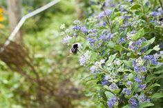 Ape #bee del giardino apiario sperimentale di Marentino. http://www.coopagridea.org/giardini-api-e-mieli-a-marentino/