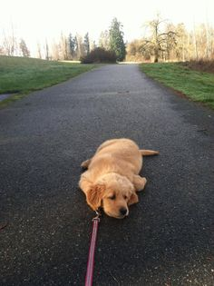 Golden Retriever Puppy knows his limit.-- this is exactly like my German Shepard/Golden Retriever puppy Cute Puppies, Cute Dogs, Dogs And Puppies, Doggies, Poodle Puppies, Puppies Tips, Animal Memes, Funny Animals, Cute Animals