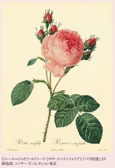 コノサーズ・コレクション東京 : 展覧会 ルドゥーテ生誕250年記念 『薔薇空間』 宮廷画家ルドゥーテとバラに魅せられた人々 東急 Bunkamura