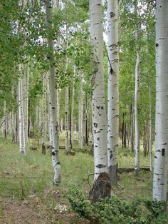 Quaking Aspen: Trees of the Mountain West | Fall Leaves Photos | LiveScience.  My favorite tree. I have such fond memories of these beautiful trees. They are magical.