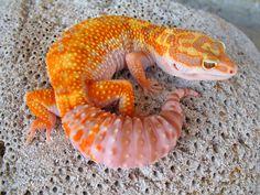 Firewater Eublepharis macularius. damn lookit that tail. beefcakeee