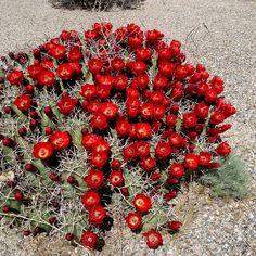 Cactus in Bloom, Sandia, New Mexico