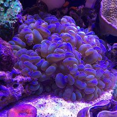 The killer bubble!  #coral #reeftank #coralreeftank #reef #reefpack #reef2reef #reefcandy #reefersdaily #reefrEVOLution #coralreef #coraladdict #reefaholiks #reefjunkie #reeflife #instareef  #allmymoneygoestocoral #instareef  #reefpackworldwide