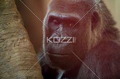 mature gorilla - Mature Gorilla looking at camera.