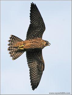 peregrine-falcon-in-flight-17-99653575_hulnbeah_dsc_19451.jpg?w=500 (500×658)