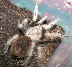 Desert Blond Tarantula (Aphonopelma chalcodes)