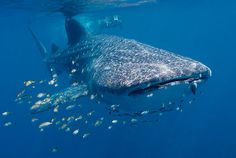 Swim with the whale sharks at Ningaloo Reef in Australia.
